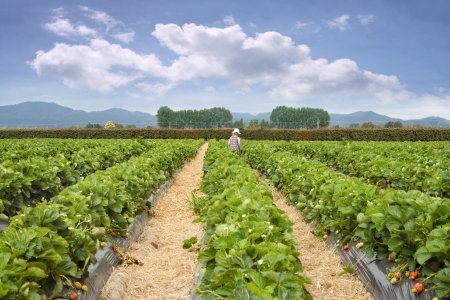non cultivated: Strawberry farm in summer day Stock Photo