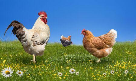Kippen en haan op de groene weide