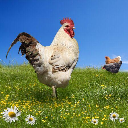 닭과 녹색 초원에 수탉 스톡 콘텐츠