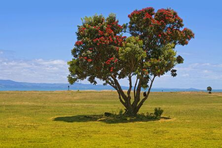 Pohutukawa, New Zealand Christmas Tree on the beach in Thames, North Island, New Zealand