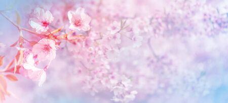 Schöner Frühlingsnaturrosa blühender Kirschbaum Standard-Bild