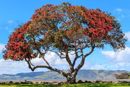 Pohutukawa-boom bij Huia-baai dichtbij Titirangi, Nieuw Zeeland Stockfoto