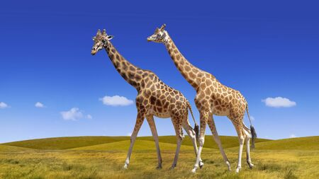Wild  giraffes collage on the blue sky and savannah background Stock Photo - 129091077