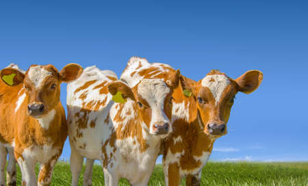 Young farm animals, calf livestock on the green meadow and blue sky background. 版權商用圖片