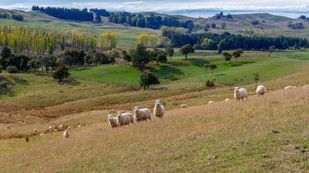 Herd of sheep on picturesque farmland pasture, New Zealand 版權商用圖片