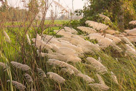 Erba di piuma bianca con il vento.