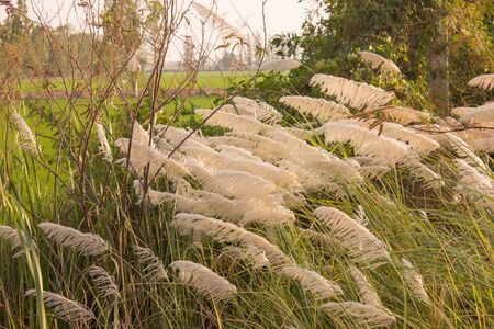 white feather: White Feather grass with the wind.