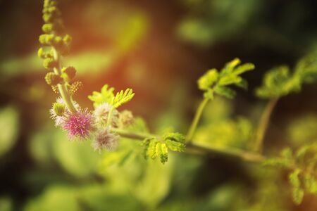 botanics: Close up Flowers of the fluffy little purple with green leaves. Stock Photo
