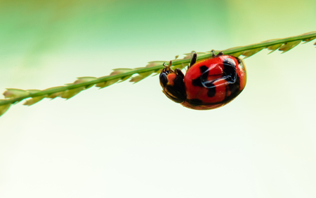 Ladybird small colorful beetle climbing on the green branches.
