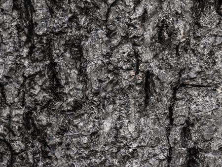 Close-up dry wood bark surface background texture of tree trunk.