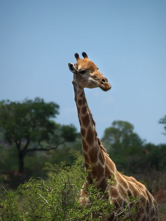 veldt: Shoulder, neck and head of a giraffe with African scenery and blue sky behind Stock Photo