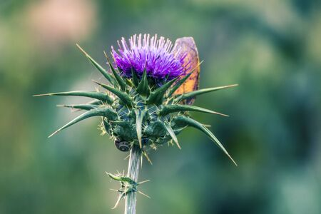 dry leaf: Thistle flower and a dry leaf