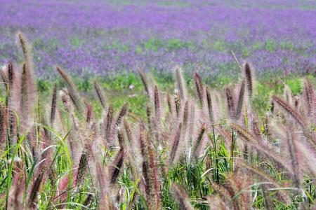 purple,Fleeciness, grass