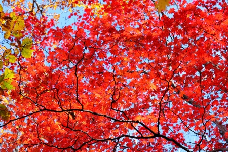 red maple leaf: The red maple leaf