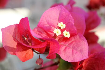flower,Bougainvillea