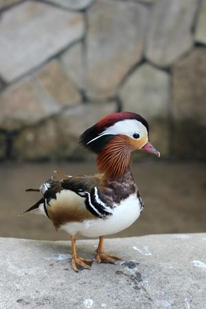 Yuanyang, birds Stock Photo