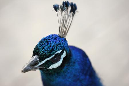 Peacock,galliformes