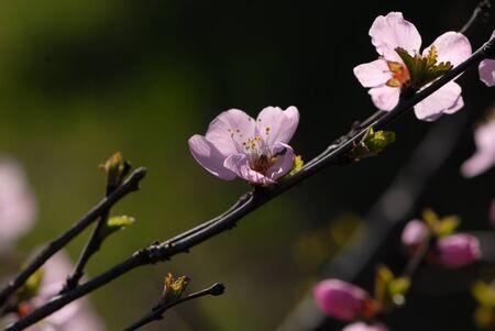 prunus: Prunus triloba