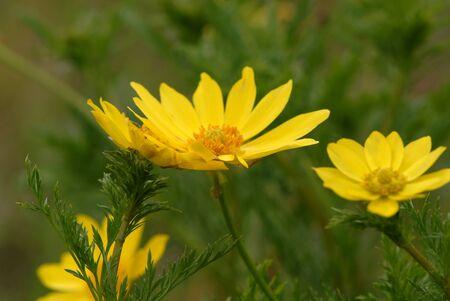 on yellow daisy: Yellow Daisy