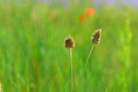 viridis: Setaria viridis Stock Photo