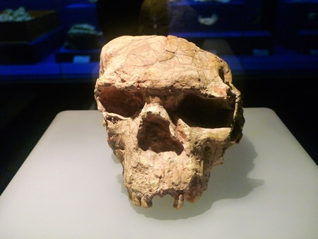 homo erectus: Museum of tooth enamel from yunxian, Hubei Province, the second skull is the best-preserved skull fossils of Homo erectus.