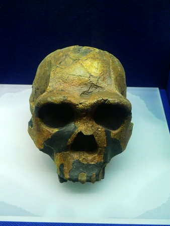 homo erectus: KNM-ER 3733, Homo erectus in Africa craftsman skull, 1975 in Kenya found that 1.7 million years ago Homo erectus fossil skull, skull characteristics similar to Beijing.