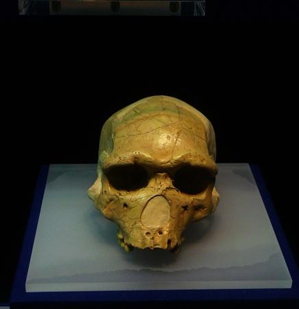 fossils: Java man skull fossils in Hubei Provincial Museum
