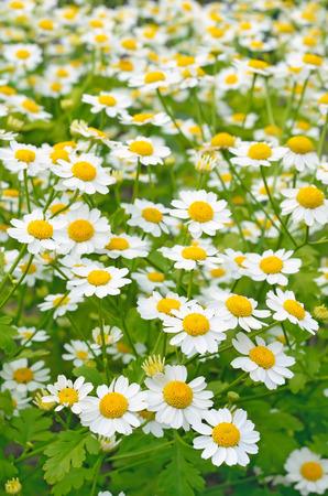 Tanacetum parthenium, flowers feverfew in the garden 스톡 콘텐츠