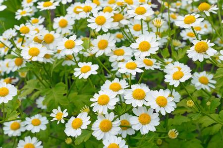 Flowers feverfew (Tanacetum parthenium) in garden 스톡 콘텐츠