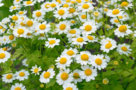 Flowers feverfew (Tanacetum parthenium) in garden Stock Photo