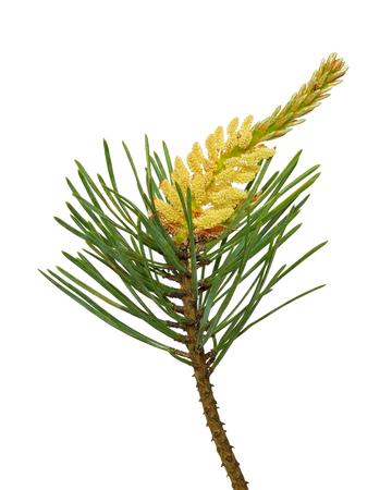 pinus sylvestris: Pine (Pinus sylvestris) branch isolated on white background