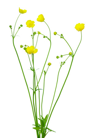 Meadow buttercup ( Ranunculus acris) flower isolated on a white background Фото со стока - 61712624