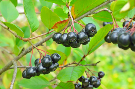 Branches of black chokeberry in the garden