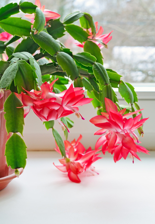 christmas cactus: Christmas cactus (Schlumbergera) in pot on the window,focus on flower in front
