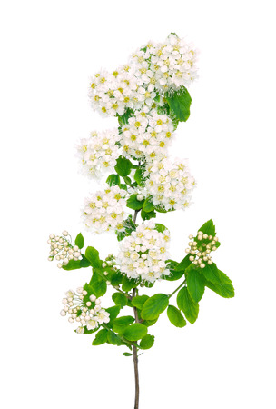 The branch of spiraea on a white background