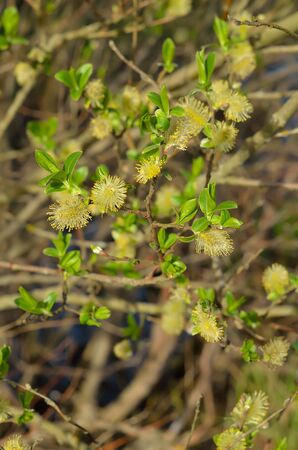 Blooming branches of salix tree, selective focus