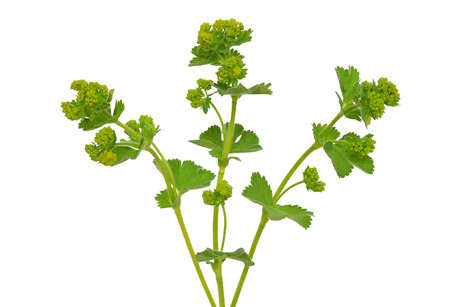 alchemilla mollis: Ladys mantle herb (Alchemilla mollis) isolated on white background