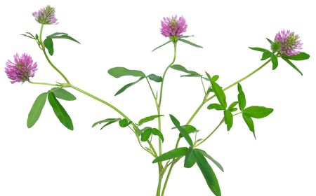 trifolium: Clover flowers isolated on white background