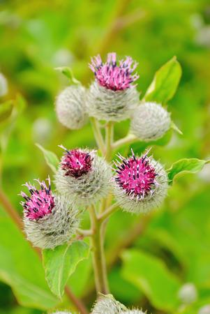 beggar's: Flowering Great Burdock (Arctium lappa)