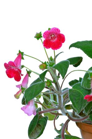 Kohleria flower isolated on a white  background