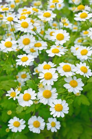 Tanacetum parthenium, flowers feverfew in the garden Stock Photo