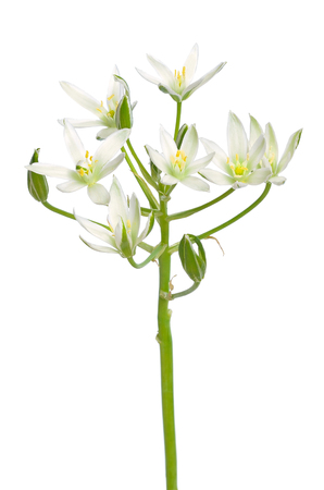 Ornithogalum flower isolated on white background