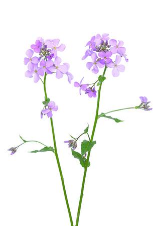 gilliflower: Dames Rocket (Hesperis matronalis) flower isolated on white background
