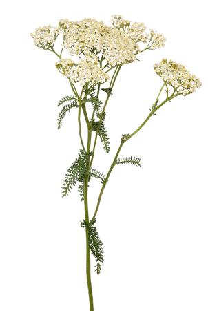 白い背景で隔離のアキレア セイヨウノコギリソウ花
