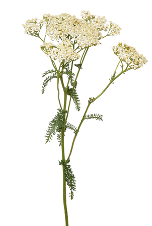 Achillea millefolium flower isolated on white background