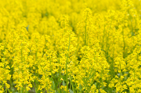 Yellow flowers of Barbarea vulgaris, focus on flower in front  스톡 콘텐츠