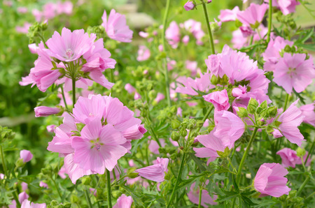 Pink malva flowers in garden on a sunny summer day