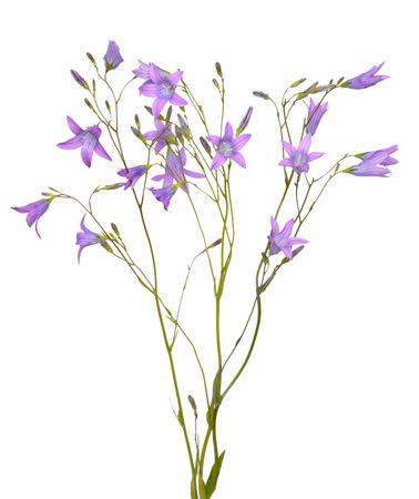 Campanula flowers isolated on white background Stock Photo