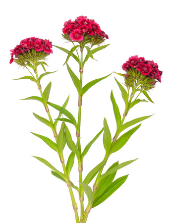 Dianthus barbatus (Sweet William) flowers isolated on white background