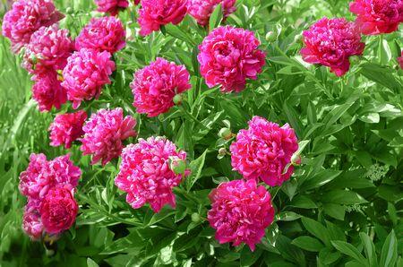 Beautiful peonies in the garden